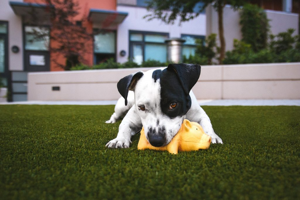 dog playing on turf