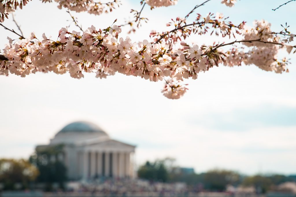 Cherry Blossoms near Jefferson Memorial